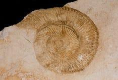 ископаемый аммонита Стоковые Фото