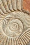 ископаемый аммонита Стоковая Фотография RF