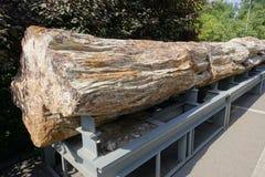 Ископаемый дерева стоковое фото rf