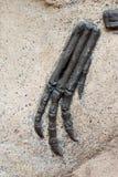 ископаемый когтя стоковое фото rf