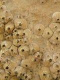 ископаемый коралла Стоковое Изображение RF