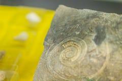 Ископаемый раковины Gastropod для образования назад к предыдущая кембрийской стоковые фотографии rf