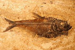 ископаемый рыб стоковое изображение