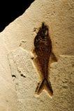 ископаемый рыб Стоковые Изображения RF