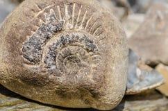 Ископаемый Ammonit Стоковые Фото
