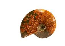 Ископаемый Ammonoidea стоковое изображение rf