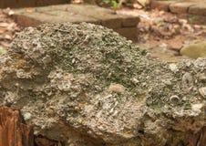 Ископаемый Gastropod стоковые изображения rf