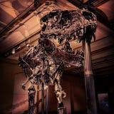 Ископаемый rex тиранозавра Стоковые Фото
