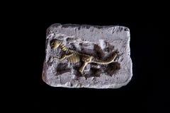 Ископаемый ` s динозавра на черной предпосылке Стоковые Фотографии RF