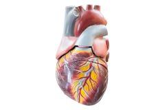 Искусственная человеческая модель сердца стоковое изображение rf