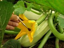 искусственний pollination Стоковые Фотографии RF