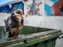 Искусство голубя и граффити Стоковое фото RF