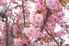 Искусство границы или предпосылки весны с розовым цветением Стоковые Изображения