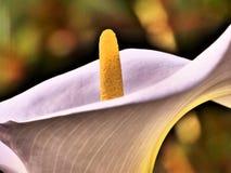 Искусство лилии Arum x стоковое изображение rf