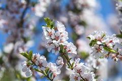 Искусство предпосылки весны с белыми tomentos сливы вишни nanking Стоковое Изображение