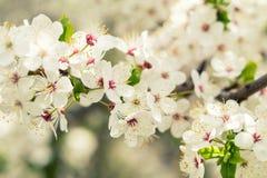 Искусство предпосылки весны с белым вишневым цветом красивейше Стоковая Фотография