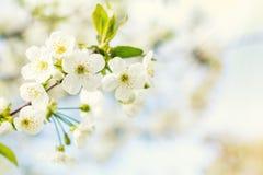 Искусство предпосылки весны с белым вишневым цветом красивейше Стоковые Фото