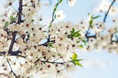 Искусство предпосылки весны с белым вишневым цветом Красивое natur Стоковые Фотографии RF