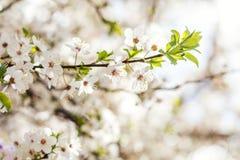 Искусство предпосылки весны с белым вишневым цветом Красивое natur Стоковое фото RF