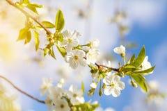 Искусство предпосылки весны с белым вишневым цветом Стоковая Фотография