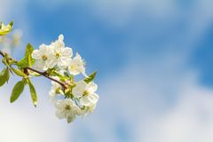 Искусство предпосылки весны с белым вишневым цветом Стоковые Изображения