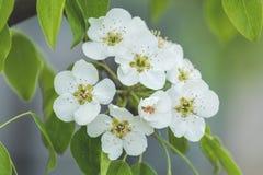 Искусство предпосылки весны с белым цветением груши Стоковая Фотография RF