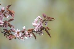 Искусство предпосылки весны с розовым цветением сливы Стоковые Изображения