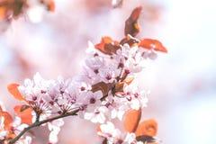 Искусство предпосылки весны с розовым цветением сливы Стоковые Фотографии RF