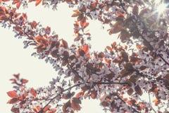 Искусство предпосылки весны с розовым цветением сливы Стоковое Изображение