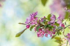Искусство предпосылки весны с розовым цветением яблони Стоковые Изображения RF