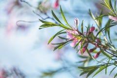 Искусство предпосылки весны с розовым tenella сливы миндалины Стоковое Изображение RF