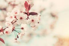 Искусство предпосылки весны с белым вишневым цветом Стоковое Изображение RF