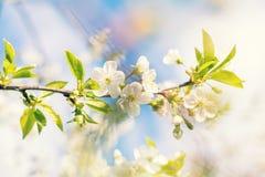 Искусство предпосылки весны с белым вишневым цветом Стоковое Фото
