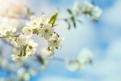 Искусство предпосылки весны с белым вишневым цветом Стоковые Изображения RF
