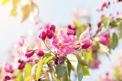 Искусство предпосылки весны с розовым цветением яблока Стоковое Изображение RF
