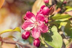 Искусство предпосылки весны с розовым цветением яблока Стоковое Фото