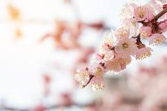 Искусство предпосылки весны с розовым цветением Стоковые Фотографии RF