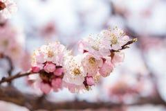 Искусство предпосылки весны с розовым цветением Стоковая Фотография