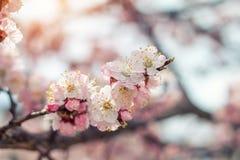 Искусство предпосылки весны с розовым цветением Стоковое Изображение