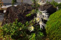 Искусство хризантемы, саги Kiku, Киото Японии Стоковые Изображения RF