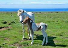 Исландская конематка со своим милым осленком пегой лошади стоковые изображения