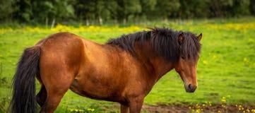 Исландская лошадь залива стоковая фотография