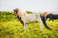 Исландская лошадь и красивый исландский ландшафт, Исландия Стоковое Изображение