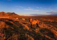 Исландские лошади на красном поле на заходе солнца стоковые фотографии rf