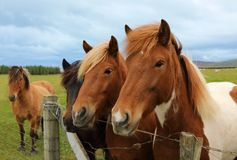 Исландские лошади на paddock Стоковое Изображение