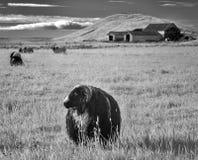 Исландские овцы в инфракрасном Стоковое Изображение RF