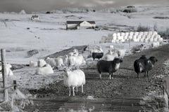 Исландские овцы в инфракрасном Стоковое Фото