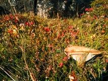 Исландский гриб на исландских горах Стоковые Фото