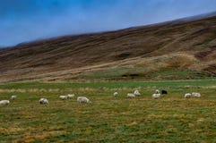 Исландский ландшафт с горами овец и травы около Reykjavi Стоковое Фото