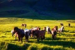 Исландский пони пася в выгоне который загорен  Стоковые Изображения RF